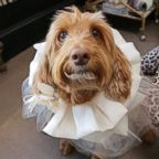 Dog poses with handcrafted wedding attire designed by Fifi & Romeo.
