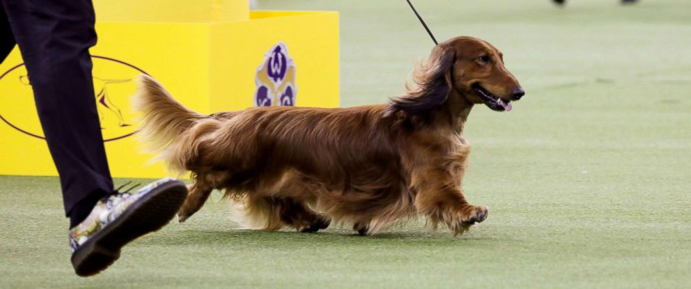 "PHOTO: ""Walmar-Solos OMG"" a longhaired Dachshund won first in the Hound Group at the 143rd Westminster Kennel Club Dog show at Madison Square Garden in N.Y., Feb. 11, 2019."