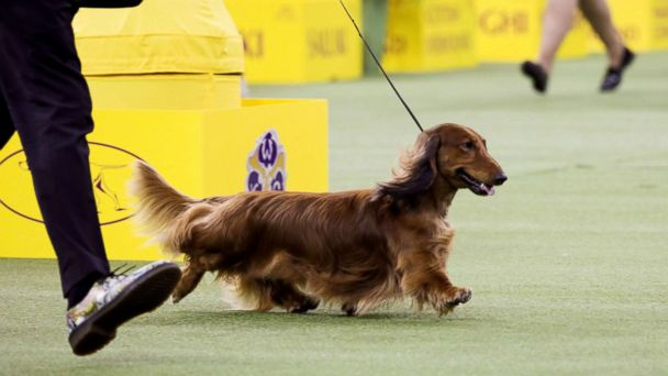 4 beautiful breeds win groups, advance to vie for Best in Show title at Westminster Dog Show