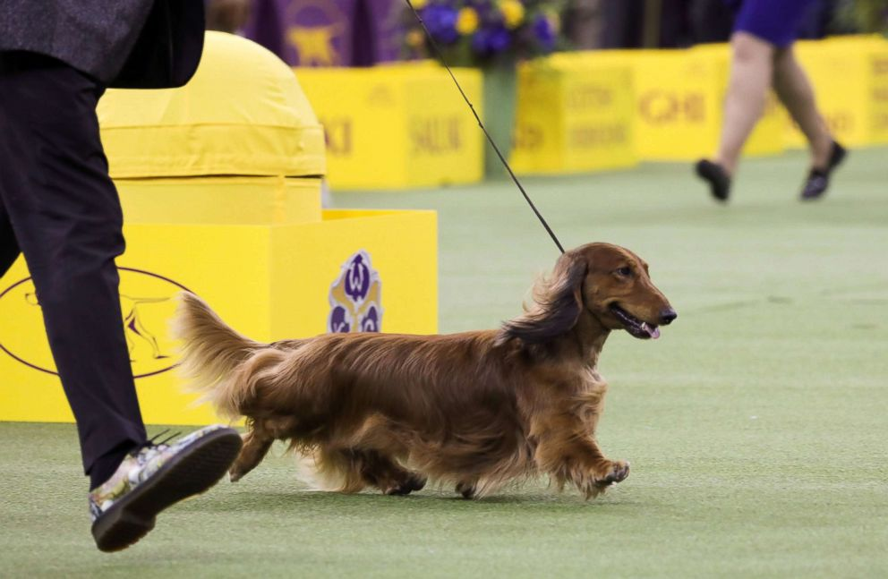 PHOTO: Walmar-Solos OMG a longhaired Dachshund won first in the Hound Group at the 143rd Westminster Kennel Club Dog show at Madison Square Garden in New York, Feb. 11, 2019.