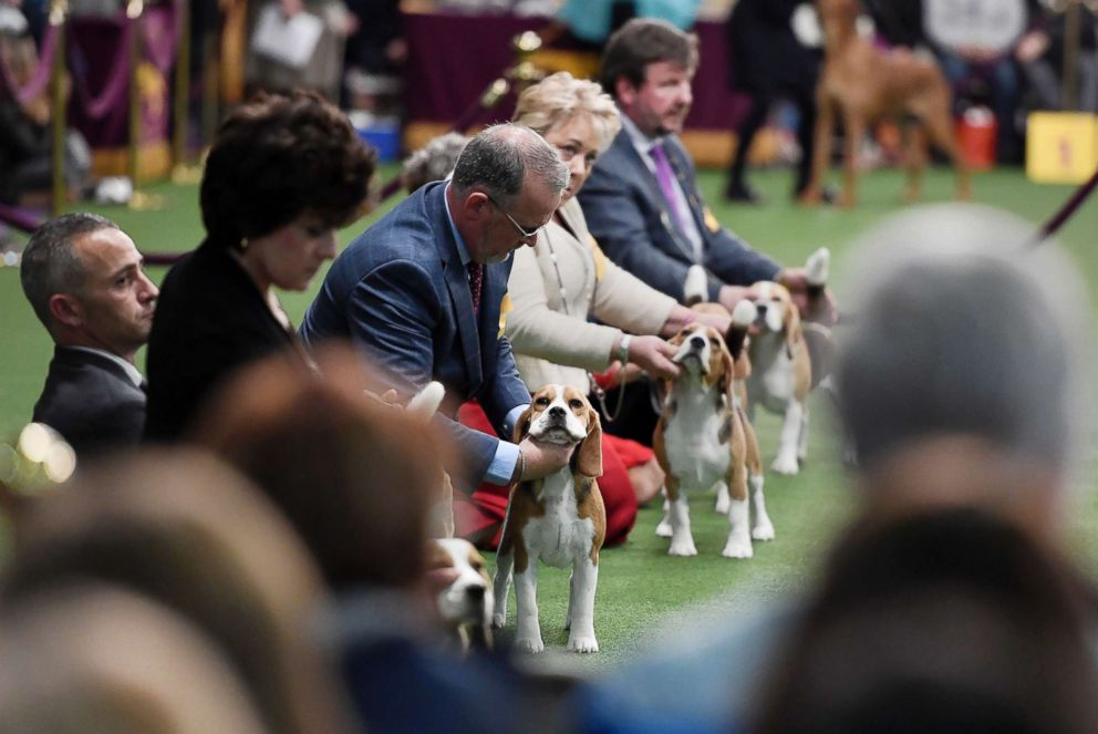 PHOTO: Beagles compete in Breed Judging during the 143rd Westminster Kennel Club Dog Show, Feb. 11, 2019 in New York City.