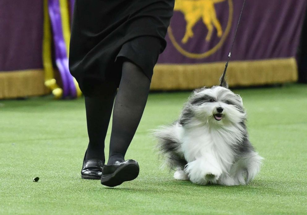 Taffe McFadden competes with Bono the Havanese in Best in Show at the 143rd Westminster Kennel Club Dog Show at Madison Square Garden, Feb. 12, 2019, in New York City.