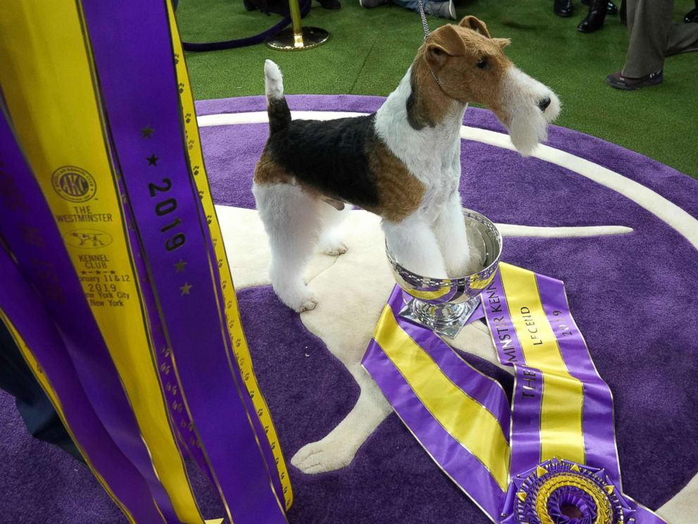 PHOTO: King, the wire hair fox terrier, poses after winning Best in Show at the Westminster Kennel Club 143rd Annual Dog Show in Madison Square Garden in N.Y., Feb. 12, 2019.