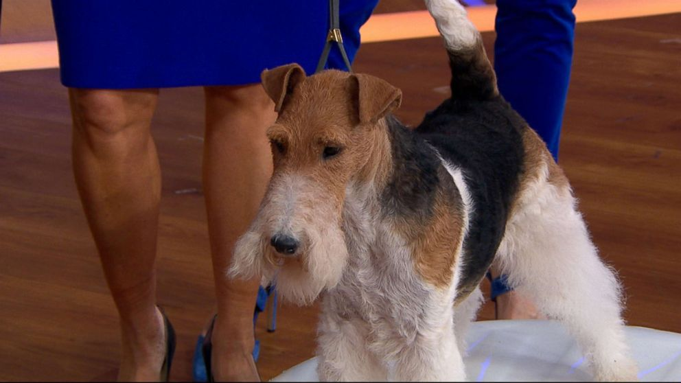 King, the 7-year-old Wire Fox Terrier, was named Best in Show at the Westminster Kennel Club Dog Show.