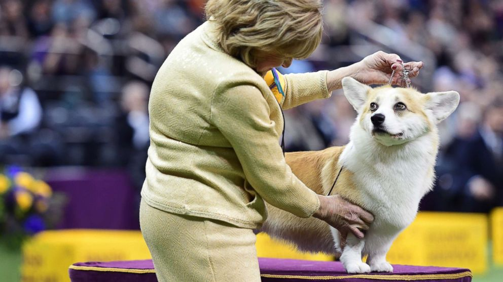 4 beautiful breeds win groups, advance to vie for Best in Show title at Westminster Dog Show thumbnail