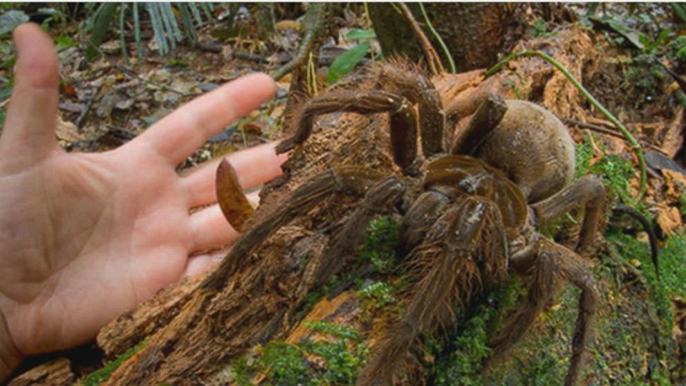 This Puppy-Sized Spider Will Haunt Your Dreams