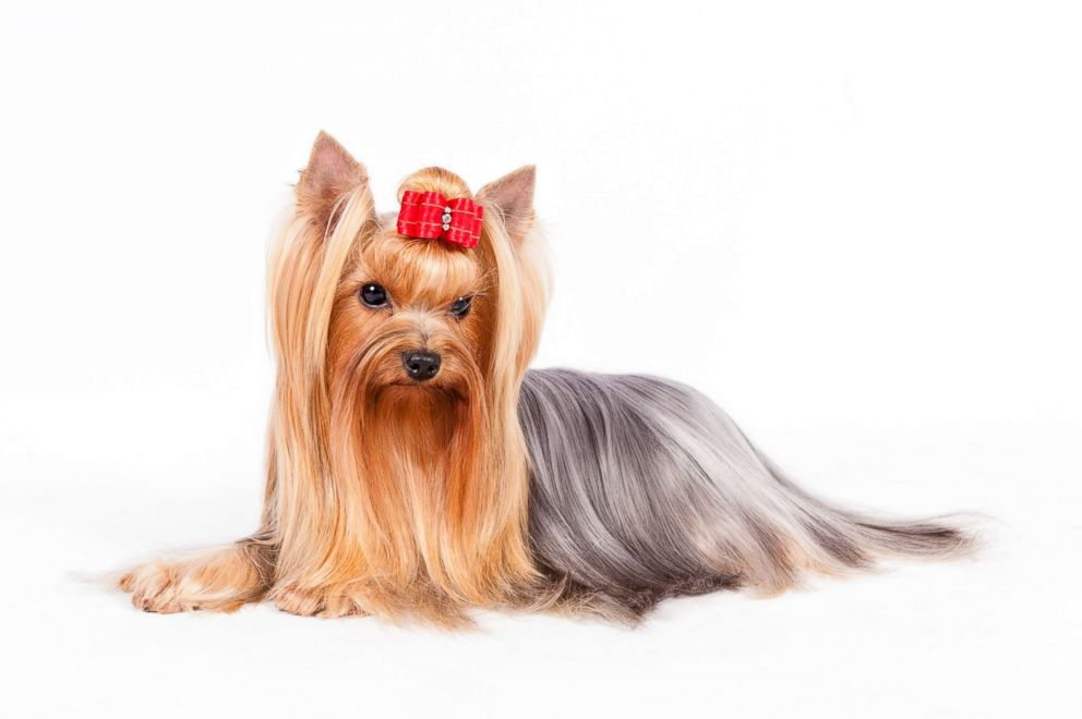 Yorkshire terriers are pointer are No. 10 on the AKC's most popular dog breeds of 2018