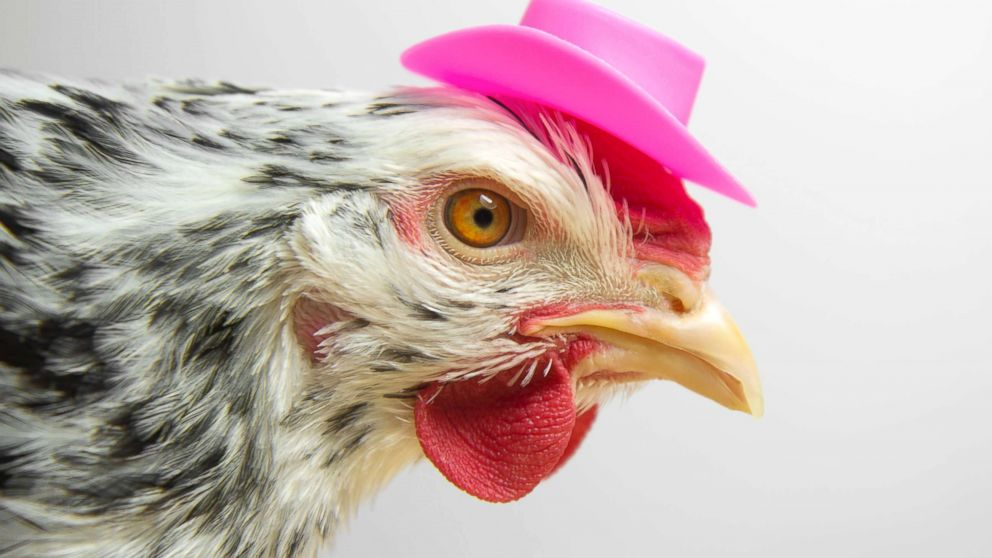 A chicken wears a cowboy hat in an undated stock photo.