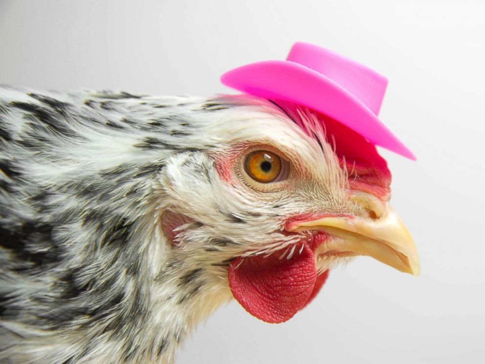 PHOTO: A chicken wears a cowboy hat in an undated stock photo.