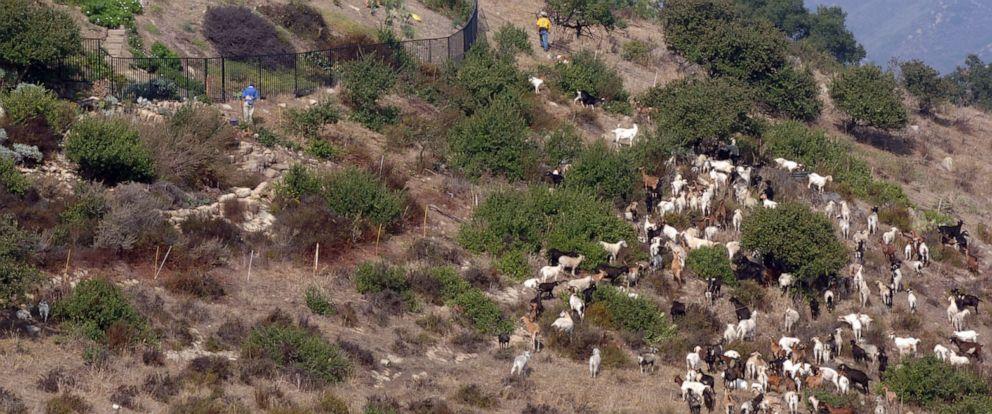 PHOTO: Goats graze on a hillside in Laguna Beach, Calif., on Oct. 20, 2005.