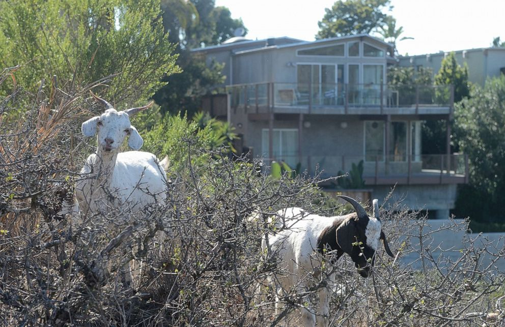 PHOTO: Goats chomp on vegetation behind homes along Del Mar Avenue in the hills above Laguna Beach in Calif., on July 18, 2016.