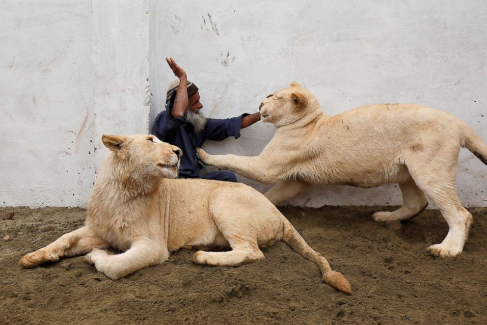Mamy, a caretaker plays with a pair of pet lions in an enclosure built in a house on the outskirts of Peshawar, Pakistan, Feb. 4, 2019.