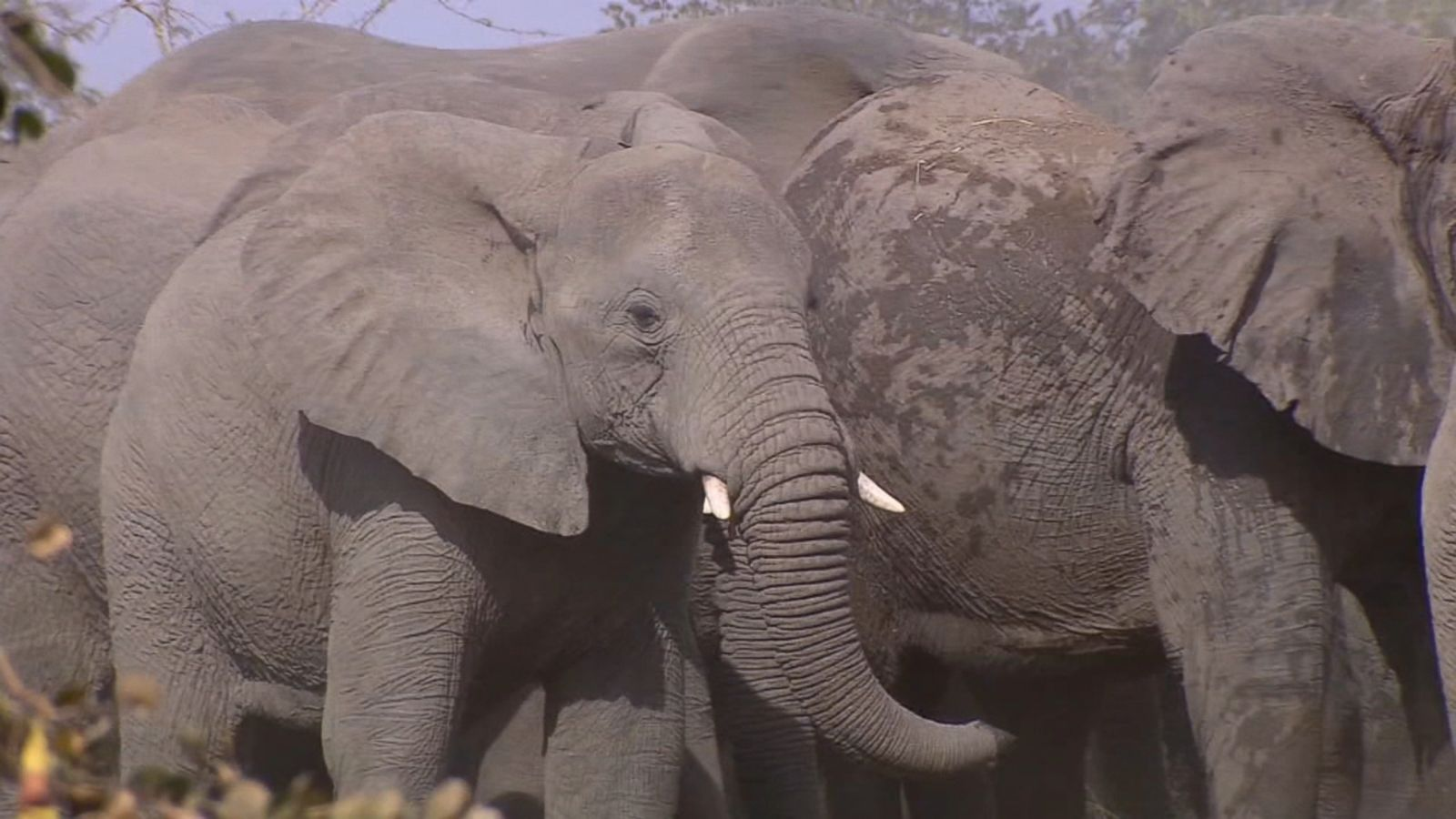 New 'zombie' gene found in elephants could help humans fight ...