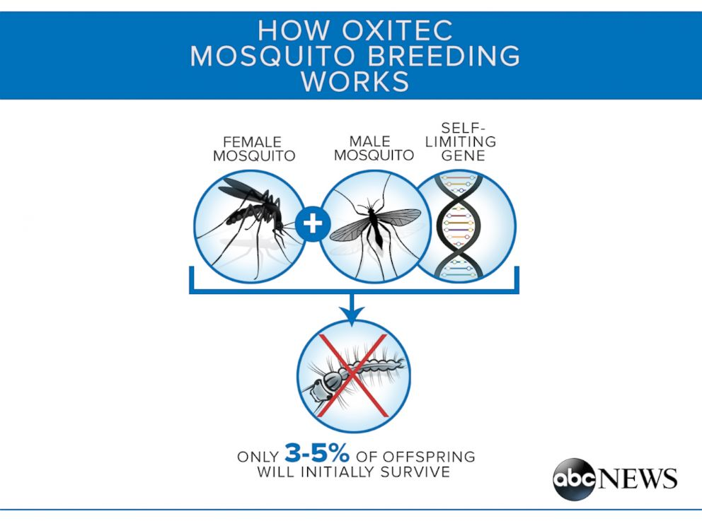 PHOTO: The Oxitec mosquito has a self-limiting gene so that its offspring dont survive in the wild.