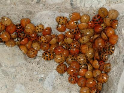 Multicolored Asian Ladybeetle (Courtesy Michael Potter, Univ. of Kentucky)