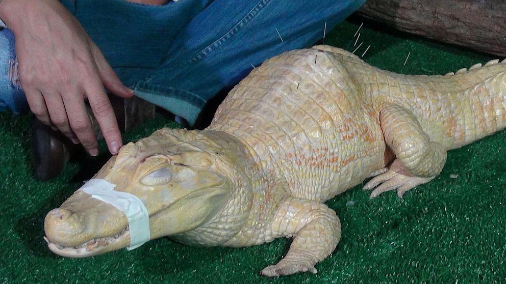 Bino, the albino alligator, receives acupuncture treatment in Sao Paulo, Brazil, Aug 27, 2013.