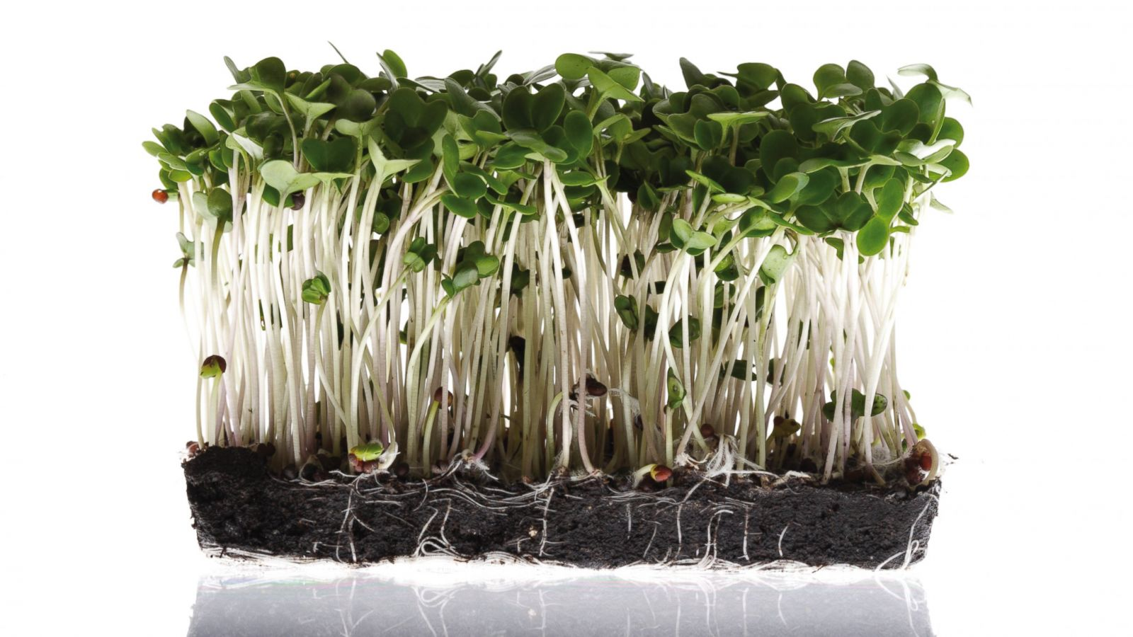 Chemical In Broccoli Sprouts May Treat >> Why Broccoli Sprouts May Be A True Disease Fighting Super