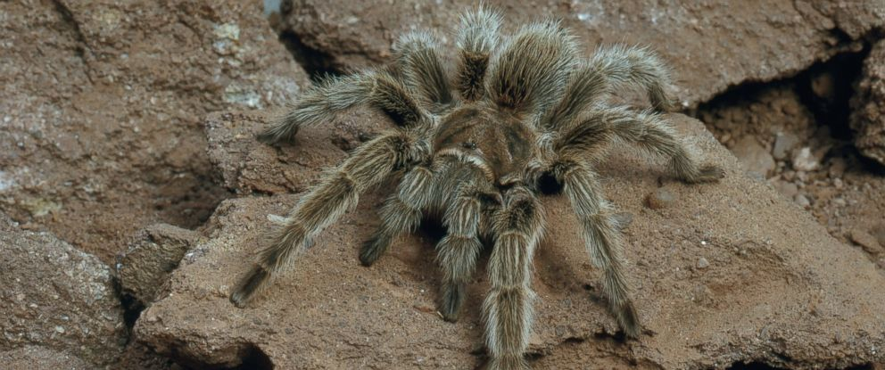 PHOTO: The Chilean rose-hair tarantula is seen in this undated stock photo.