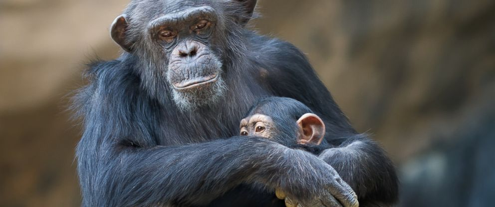 PHOTO:The NIH will no longer use chimpanzees for medical testing.