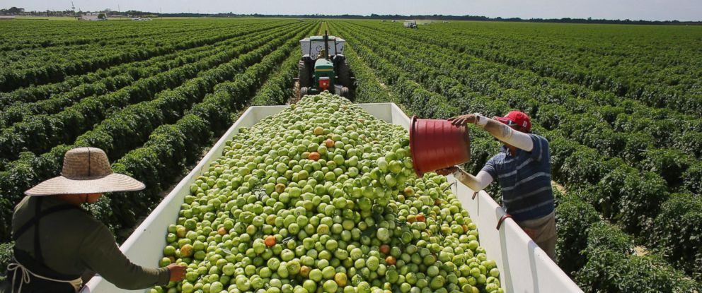 PHOTO: Workers fill a trailer with tomatoes as they harvest them in the fields of DiMare Farms on Feb. 6, 2013 in Florida City, Fla.