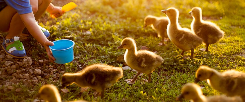 PHOTO: A child feeds ducks on farm in this undated file photo.