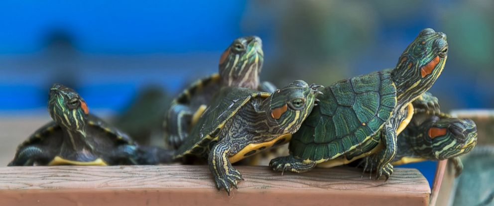 PHOTO: The red-eared slider (Trachemys scripta elegans) is a semiaquatic turtle belonging to the family Emydidae. It is the most popular pet turtle in the United States and also popular in the rest of the world.