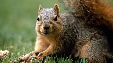 PHOTO: Gray Squirrel