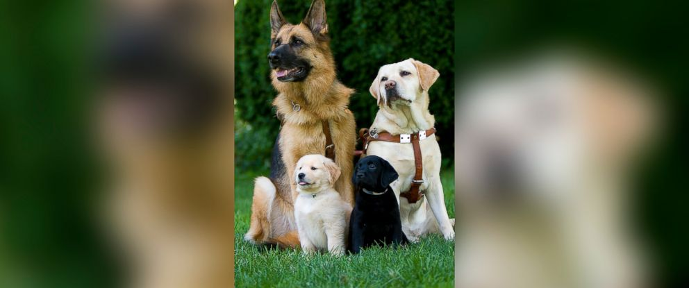 PHOTO: The Seeing Eye breeds, raises and trains German shepherds, Labrador retrievers, golden retrievers and a cross of the Lab and golden retriever.
