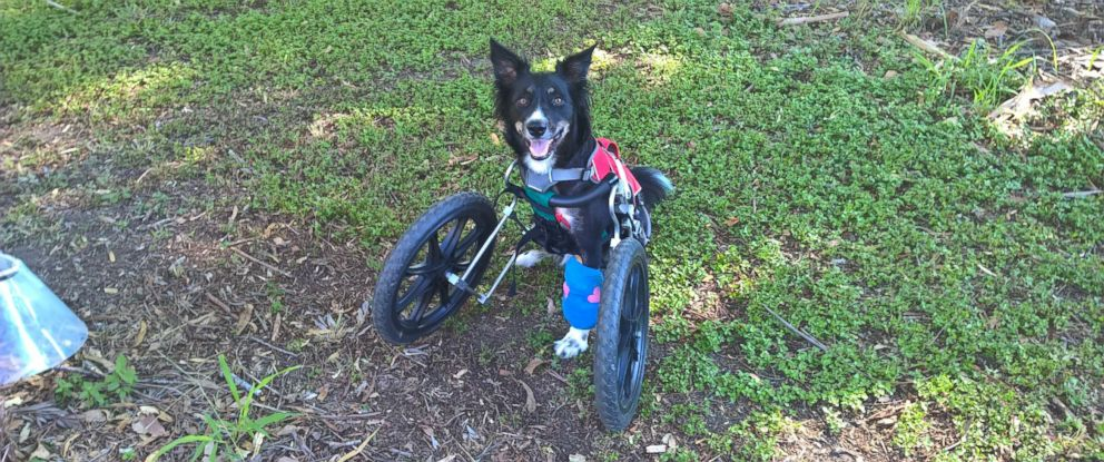 PHOTO: Ziggy, with his customized cart, after specialist surgery at The University of Queensland's Veterinary Medical Centre is pictured in this undated photo.