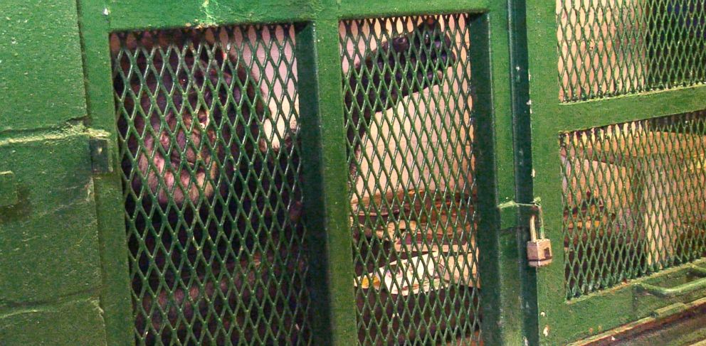 PHOTO: Tommy the chimp lives in a dark basement cage in upstate New York.