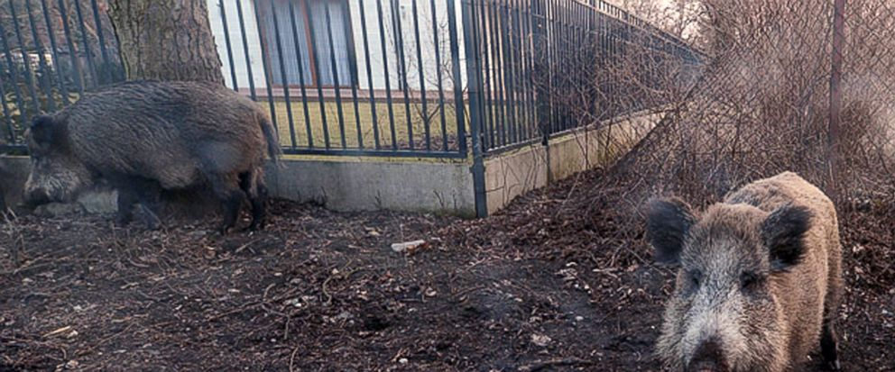 In this photo taken March 25, 2018, wild boar are seen roaming near houses in Lomianki county on Warsaw outskirts.Tens of thousands of Poles are protesting a government plan to hold a massive slaughter of wild boars as a way to stop the spread of the