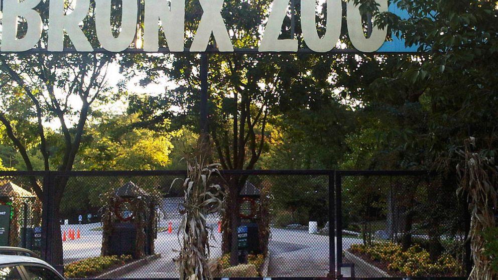 Τίγρη στο Ζωολογικό κήπο του Μπρονξ της νέας υόρκης θετικό για coronavirus