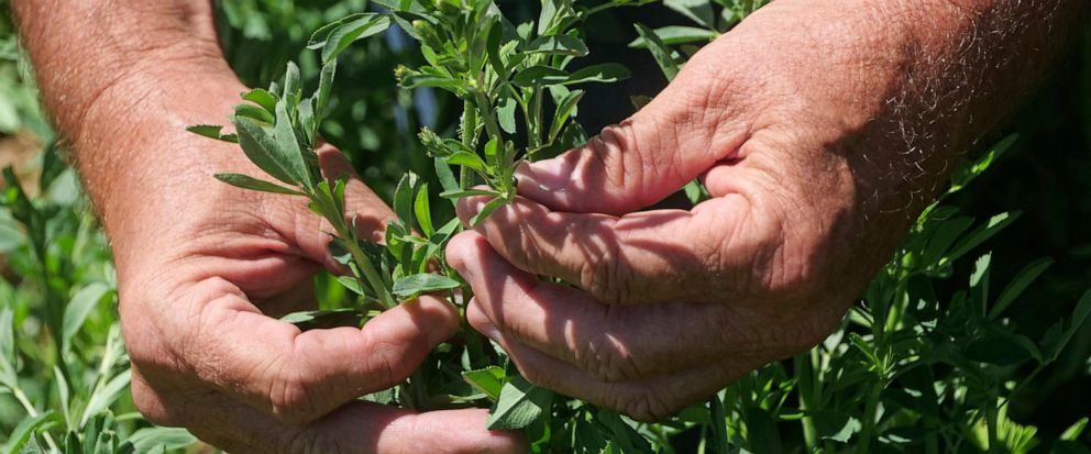 In this Wednesday, June 26, 2019, photo, Russell Jones looks at his alfalfa as he walks in his field, in Nephi, Utah. The Joneses are fourth-generation farmers, members of The Church of Jesus Christ of Latter-day Saints, and among 81 applicants vying