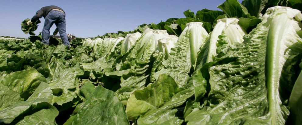 FILE - In this Aug. 16, 2007 file photo, a worker harvests romaine lettuce in Salinas, Calif. U.S. health officials are declaring an end to a food poisoning outbreak blamed on romaine lettuce from California. (AP Photo/Paul Sakuma, File)