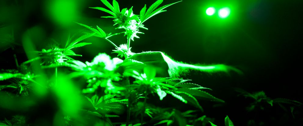 FILE - In this May 20, 2019, file photo photo head of cultivation at Loving Kindness Farms Jason Roberts checks one of his marijuana plants in a grow room wearing green lights not to wake them wake them during their night cycle in Gardena, Calif. A n