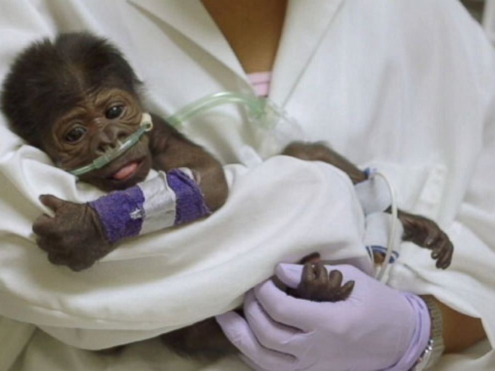 PHOTO: A baby gorilla was born at the San Diego Zoo Safari Park via a rare c-section.