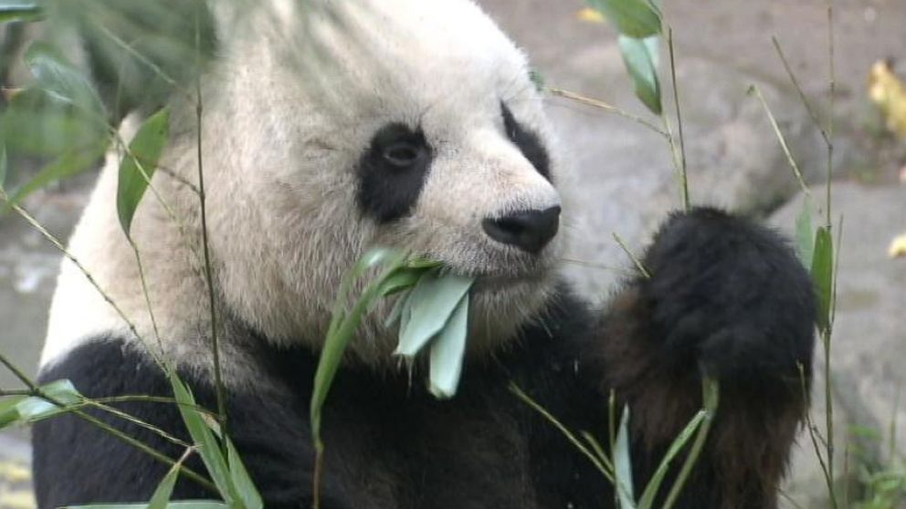 San Diego Panda Recovering From Testicular Cancer Surgery