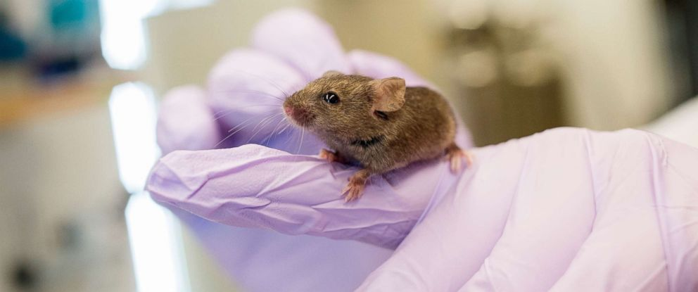 PHOTO: Natalie Perry, an animal technician associate, holds a mouse by the tail in Richard Millers pathology and geriatrics lab at the University of Michigan.