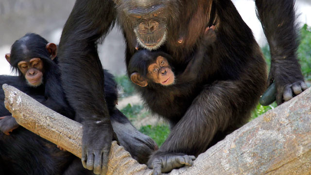 PHOTO: Chimpanzee mother, Regina carries her female baby, Zuri, May 30, 2013 at the Chimpanzees of Mahale Mountains exhibit at the Los Angeles Zoo.