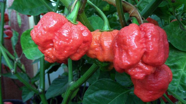 PHOTO: Worlds Hottest Pepper