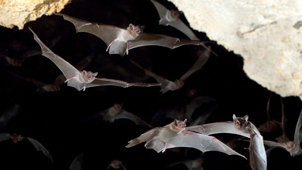 Rabies in humans comes from bats most of the time, not dogs - ABC News thumbnail