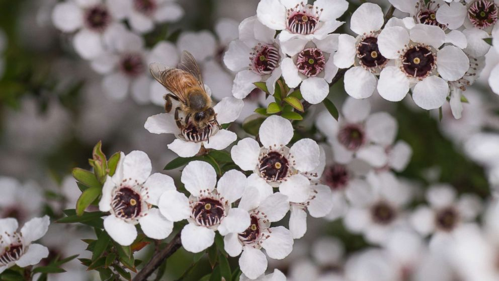 A bee sits on a manuka tree in New Zealand in an undated stock photo.