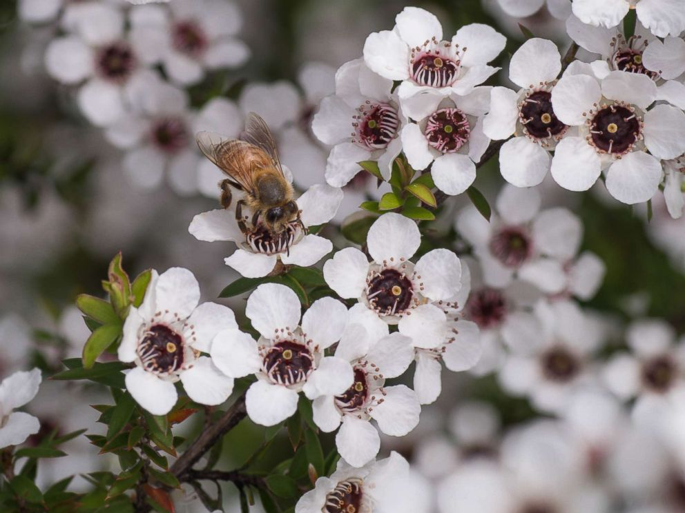 PHOTO: A bee sits on a manuka tree in New Zealand in an undated stock photo.