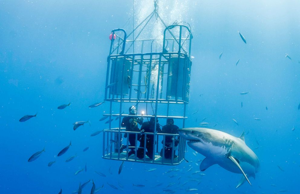 PHOTO: A shark swims by a cage with divers in Guadalupe Island in this undated stock photo.
