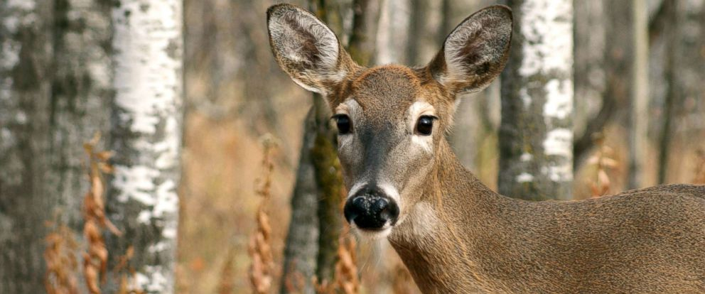 PHOTO: A deer is seen in this stock photo.