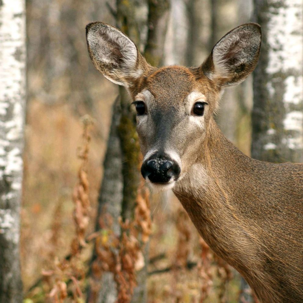 Zombie deer' disease is spreading across the US: What you should know - ABC  News