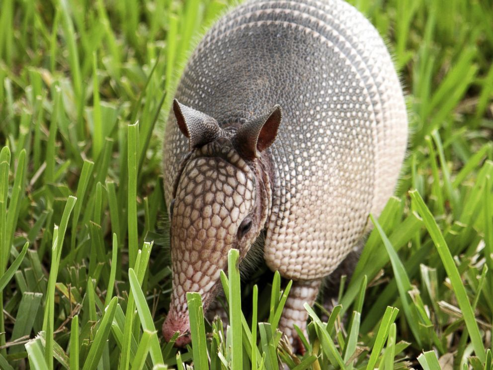 PHOTO: Health departments have connected past leprosy cases to infections from armadillos.
