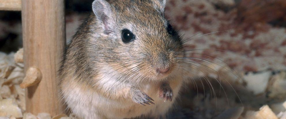 PHOTO: A pet gerbil, a popular small pet.