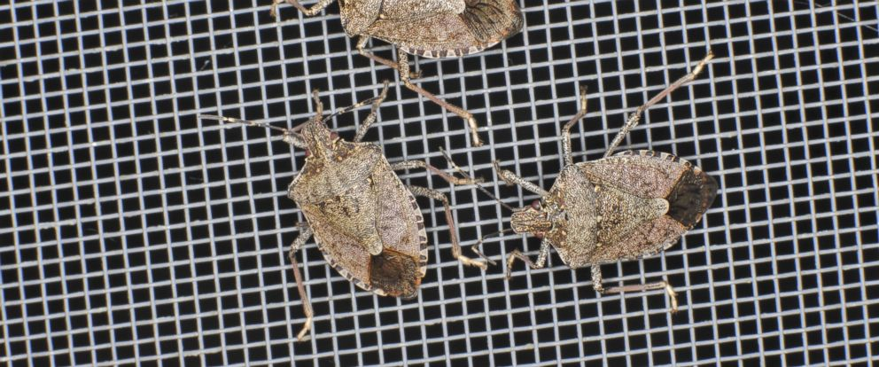 PHOTO:Stink Bugs are pictured in this undated file photo.