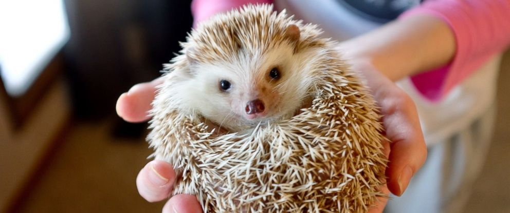 PHOTO: A person holds a hedgehog in this stock photo.